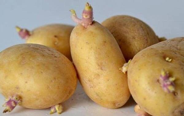قابل توجه سیبزمینی کاران کشت پاییزه