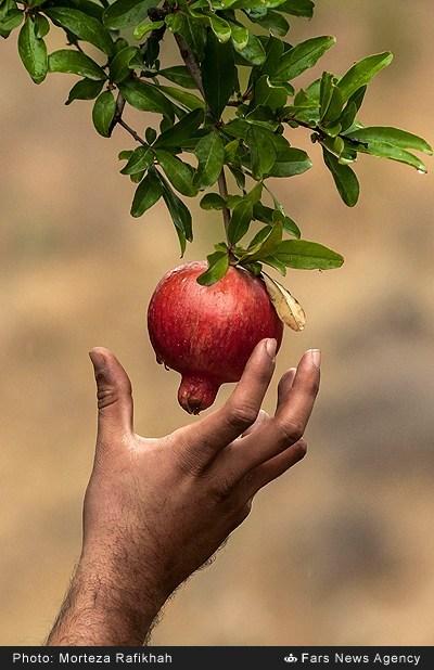 توصیه به باغداران انار