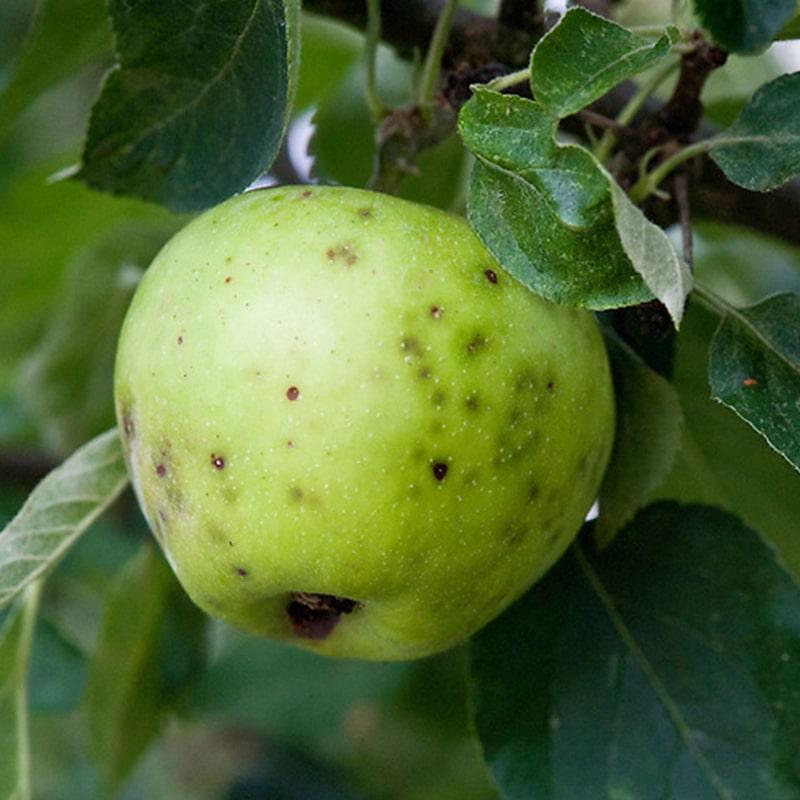 عارضه لکه تلخ در سیب و راهکارهای کنترل آن
